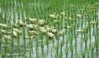 Le vocabulaire chinois du riz (1) 饭